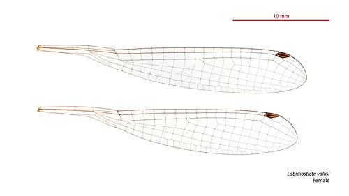 Labidiosticta vallisi female wings