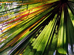 Few Sharp Lines (Khaled M. K. HEGAZY) Tags: nikon coolpix p520 maadi sporting club cairo egypt nature outdoor closeup plant palm tree leaf leaves foliage garden red green yellow brown white orange