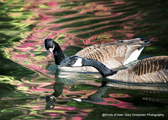 It Had To Be Said (Gary Grossman (very busy with work)) Tags: canadagoose geese pair garygrossmanphotography couple birds canadageese reflections rhododendrons crystalsprings spring pacificnorthwest oregon portland wildlife waterfowl water lake