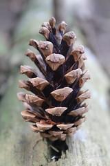 Standing cone (Sven Bonorden) Tags: pinecone cone kiefernzapfen zapfen conifer nadelbaum kiefer wald forest woods wood holz intothewoods braun brown seeds samen makro macro canon nadelwald