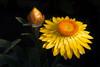 IMG_9551 (ChrisPollard77) Tags: flowers macro incompletestrobistinfo removedfromstrobistpool seerule2