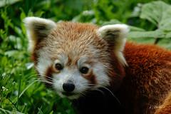 Kleine rode panda (K.Verhulst) Tags: kleinepanda kleinerodepanda rodepanda panda redpanda blijdorp blijdorpzoo diergaardeblijdorp rotterdam