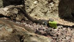 Lizzard eating // Lagarto comiendo (Jairo BI) Tags: lizzard lagarto eating naturaleza reptil reptiles comiendo hoja