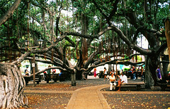 Lahaina Banyan Tree, Lahaina, Maui, Hawaii (trphotoguy) Tags: lahaina maui hawaii banyantree lahainabanyancourt rvp50 nikonf4 film fujichromevelvia50 velvia50 afnikkor3570mmf28d