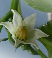 Mi pequeña planta floreció...!!!    Flor de Jurubeba... (MariaTere-7) Tags: planta flor regalo cumplebrisa lapastora caracas venezuela maríatere7