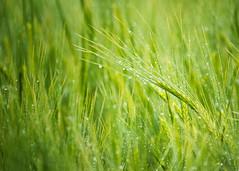 Spring barley (cottagearts123) Tags: barley raindrops green