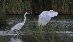 Two Greats (Cal Killikelly) Tags: great white egrets dee estuary wildlife nature summer cheshire north west england wetland rspb grass reeds marshland burton