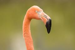 Flamingo (bakosmike) Tags: flamingo bird wildlife nature animal nikon d7200 sigma 150600mm contemporary safari niagara