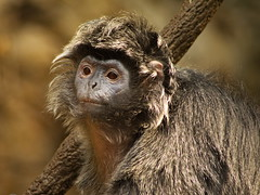 Ebony Langur 4 (dennisgg2002) Tags: bronx zoo new york city ny nyc