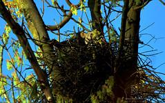 Eyes Wide Open (kaprysnamorela) Tags: cookershawk hawk bird wildlife nature sky skies tree nest blue spring leaves wow super parenting nesting oakville ontario canada outdoor ontariobirds nikon nikond3300