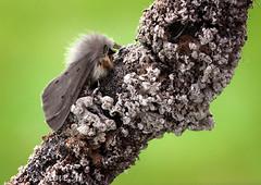 Muslin Moth (englishreader) Tags: muslinmoth diaphoramendica arctiidae moth moths insect insectphotography wings furry blackspots black grey gray green twig branch lichen macro macrophotography closeup closeupphotography nature naturephotography naturalhistory wildlife