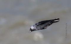 DSC_3897 (Adrian Royle) Tags: yorkshire flamborough bemptoncliffsrspb rspb corvid nature wildlife bird jackdaw coast sea nikon