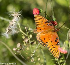 Fritillary & Flowers - HWW (11Jewels) Tags: canon 70300 butterfly wildflowers gulffritillary circlebbarreserve florida wingwednesday lakelandfl