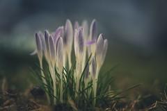 Inner glowing (--StadtKind--) Tags: stadtkind depthoffield dof bokehmasters bokeh vollformat sonyilce7m2 sonyalpha teamsony krokusse flower spring