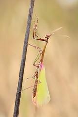 Empusa pennata (jotneb) Tags: mantis animais insectos natureza arlivre arpuro