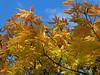 Acer (Cornishcarolin. Thank you for over 2 Million Views) Tags: cornwall httpwwwenysgardensorguk nature trees acers colour foliage