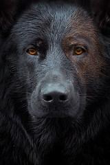 Two-Face (DigitalBite) Tags: twoface dccomics dog dogphotography gsd germanshepherddog blackgsd portrait intense eyes face