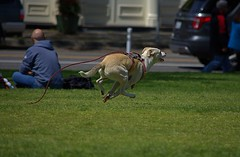 Full Tilt (swong95765) Tags: dog canine animal pet leash running fast grass chasing young mission midair gallop spry speeding