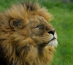 Deep in Thought (Kerry711) Tags: sony a77 alpha 75300mm lens lion male big cat animal wild pride yorkshire wildlife park doncaster southyorkshire england