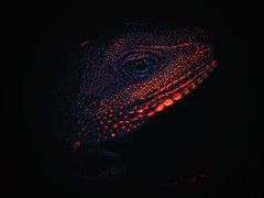 Lizard Aesthetic (hixar) Tags: lizard illusion apalurapolygonata art eye reptile japan skin animal macromondays macro face olympus tokage トカゲ 爬虫類 瞳 目 鱗 アート 極彩色 植物園 熱帯 夢の島 動物
