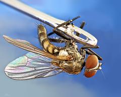 Through the eye of the needle (kunstschieter) Tags: eye needle fly macro