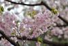 Prunus lannesiana 'Shujaku' (Masaoki Hirai) Tags: trioplanf28100 prunus cerasus rosaceae cherryblossoms