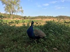 Peacock (freelancing god) Tags: railscamp northernterritory mountbundystation railscamp21