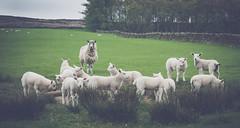 Derwent Reservoir (erringtonsimon) Tags: animal sheep wildlife farm fields county livestock what derwent durham countydurham northeast england walks fun grass green dark moody look baa panasonic g80 wool happy spring lamb