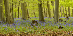Bedford Purlieus Bluebells (John__Hull) Tags: bedford purlieus nature reserve beech bluebells trees wood cambridgeshire grass leaves spring landscape breath taking landscapes view countryside uk england nikon d3200