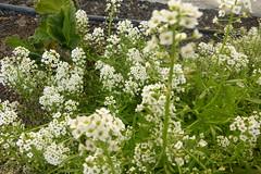 WHITE ALLYSUM (kelsey61) Tags: yards alyssum plant flowers flower plants floweringplants