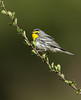 Grace's warbler (Corey Hayes) Tags: graces warbler moutain nature songbird