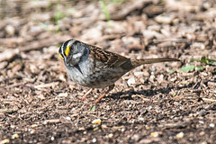 White-throated Sparrow (Gary Lloyd-Rees) Tags: whitethroatedsparrow