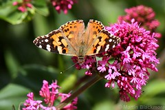 Painted Lady butterfly 6157(550D) (wildlifetog) Tags: painted lady blackmore britishisles britain butterfly mbiow martin southeast seaview duver isleofwight uk canon eos550d wild wildlifeeurope wildlife wings british