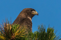 Hawk Hunting for Breakfast (MelRoseJ) Tags: sanfrancisco california unitedstates sonyalpha sal70400g sony sonyilca77m2 a77ii alpha autofocus nature northerncalifornia redtailedhawk hawk goldengatepark