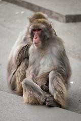 2017-05-13-17h01m15.BL7R2103 (A.J. Haverkamp) Tags: canonef100400mmf4556lisiiusmlens amsterdam noordholland netherlands zoo dierentuin httpwwwartisnl artis thenetherlands japansemakaak japanesemacaque nl