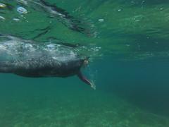G0107975 (Visit Pilar de la Horadada) Tags: swimmers meeting point hibernismare swim natación nadar milpalmeras pilardelahoradada alicante costablanca vegabaja comunidadvalenciana quedada beach strand swimm