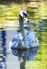 Juvenile Mute Swan (CJPhotography UK) Tags: nature natur natural animal bird swan waterfowl waterbird wildfowl duck muteswan cygnet baby babyanimal wildlife water spring light lighting london lake canal river yellow reflection colours canon telefoto park outdoors