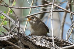 Sweet Singer (Patricia Henschen) Tags: chatfieldstatepark chatfield littleton colorado bird birds songbird housewren house wren