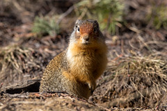 On guard (JD~PHOTOGRAPHY) Tags: groundsquirrel wild wildlife wildanimal nature banff banffnationalpark canon canon6d