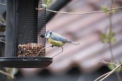Blåmeis / blue tit - Norway (Ingunn Eriksen) Tags: tit bird birdfeeder nikond750 nikon bluetit blåmeis