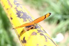 Borboleta bairro São João JM - Wir Caetano - 26 04 2017 (18) (dabliê texto imagem - Comunicação Visual e Jorn) Tags: borboleta inseto amarelo escada ferrugem