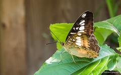 JM foto75-135 (janetankersmit) Tags: 2017 vlinders vlindertuin zutphen