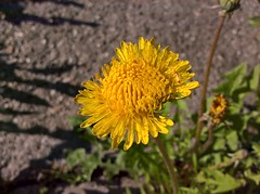 WP_20170514_07_37_01_Pro (vale 83) Tags: dandelion microsoft lumia 550 friends macrodreams wpphoto wearejuxt coloursplosion beautifulexpression thebestyellow autofocus