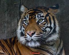 Bayu ♀ - Rain, Rain, Go Away (Belteshazzar (AKA Harimau Kayu)) Tags: bayu tiger zoo tabby lynx feline grimalkin cat asian asiancat bigcats sumatran pantheratigrissumatrae animal sumatratiger tigredesumatra суматранскийтигр tygrsumaterský tygryssumatrzański sumatraansetijger szumátraitigris tigre тигр tygr tijger tigris burgers holland batu ratna 수마트라호랑이 苏门答腊虎 虎 hổsumatra sumatrakaplanı เสือโคร่งสุมาตรา सुमात्रनवाघ სუმატრისვეფხვი טיגריססומטרה harimausumatera ببرسوماترایی portrait sumatrantiikeri the most beautiful girl zoorasia yokohama chessington uk roar arnhem beauty yagiyama yagiyamazoologicalgardens sendai japan