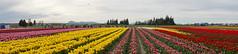 DSC05857 (sylviagreve) Tags: 2017 easter mountvernon skagitvalleytulipfestival tuliptown tulips washington unitedstates