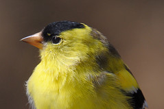 American Goldfinch ... Spinus tristis (Zircon_215) Tags: americangoldfinch spinustristis songbird molt partialmolt newfoundland westernnewfoundland westernnewfoundlandbird