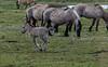 Konik horse foal (madphotographers) Tags: konik konikpaarden oostvaardersplassen nature wild wilderness horses horse