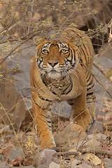 Stalking tiger (dickysingh) Tags: tiger ranthambore ranthambhorenationalpark india wild wildlife