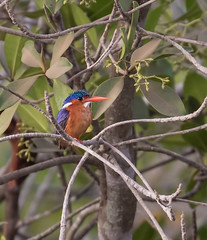 African pygmy kingfisher (johnthistle) Tags: gambie the kingfisher water bird canon lodge lamin