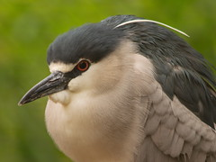 Black Crowned Night Heron 3 (dennisgg2002) Tags: bronx zoo new york city ny nyc